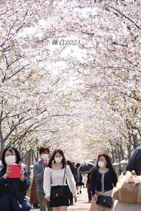 段葛の桜 満開 ⑥ 『そうだ 鎌倉、行こう 2021』 - 写愛館