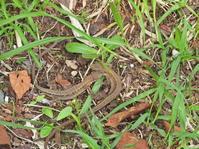 6月28日(月) カナヘビの恋 - 庄原市上野公園(上野池)とその周辺の出来事
