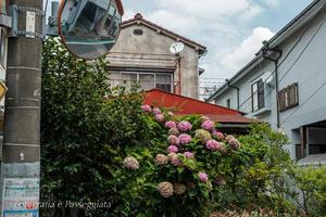 21散歩?夏東京散歩・町屋辺り町角の花 - 散歩と写真 Fotografia é Passeggiata