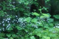 ほんのり白く、光っているみたいな花 - 旧軽井沢より  つるや旅館からのお便り