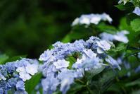 横浜イングリッシュガーデン 紫陽花 6 - 生きる。撮る。