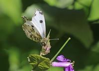 チョウの卵や幼虫との出会い - 公園昆虫記