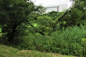 田圃のそばの ヤナギの大木が 雨か?雷か? 分かりませんが真っ二つに裂けて倒れてしまいました。 - 東浦『自然環境学習の森』(ごろちんの森)応援ブログ