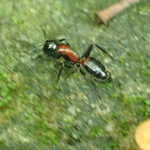 ムネアカオオアリCamponotus obscuripes -