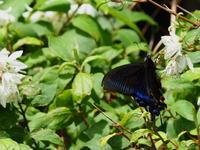 令和3年 夏至 半夏生(はんげしょうず) - 紀州里山の蝶たち