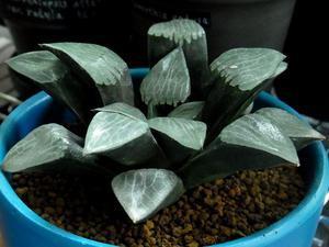 Haworthia bayeri -