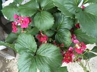 赤花のイチゴ - 赤城焼・陶器のねこと苔玉あそび.ハナイカダ探検隊