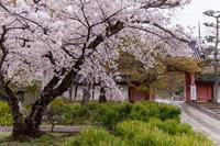 2021桜咲く京都  春雨の真如堂 - 花景色-K.W.C. PhotoBlog