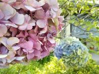 紫陽花じまい… - 侘助つれづれ