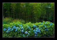 竹に紫陽花 - Desire