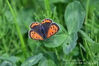 ベニシジミの春型と夏型&ムラサキシジミ - フォト エチュード  Photo-Etudes