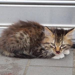 行き倒れの子猫を保護しました。 - 飼い主のいない猫たち