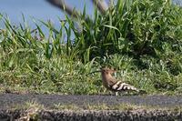 ヤツガシラ - くろせの鳥