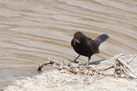 カワガラス - くろせの鳥