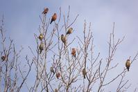 イスカの集団 - くろせの鳥