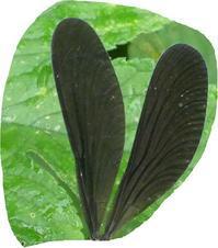 美しい黒い翅 - そらいろのパレット