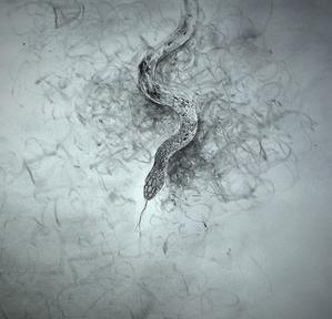 《ヤマカガシ(山楝蛇)》 -