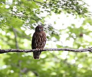 良い所に止まってくれたアオバズク・・・ - 一期一会の野鳥たち