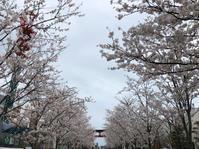 若宮大路の桜と鎌倉彫 - 空のうた