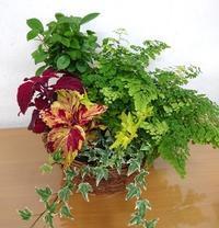 観葉植物 - 大阪府茨木市の花屋フラワーショップ花ごころ のブログ