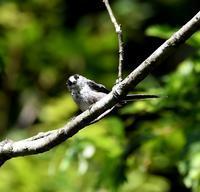 エナガ羽繕い - 打出頑爺の鳥探し