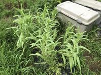夏野菜が順調に採れ始めましたよ~ - 家庭菜園ニストabuさん家の美味あれこれ