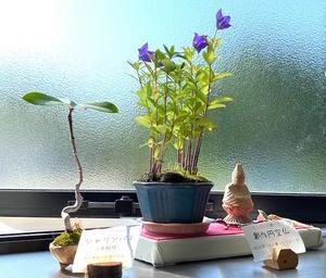 桔梗と車輪梅と円空仏 - 節約ミニ盆栽記