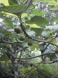 黒豆の断根挿木 - 自然農☆☆☆菜園日記