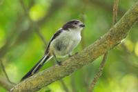 エナガの幼鳥 - やきとりブログ