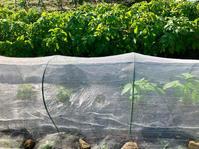 トマト収穫*百合が咲いた - my small garden~sugar plum~
