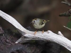 涼しい水場でキクイタダキを撮影 - コーヒー党の野鳥と自然パート3