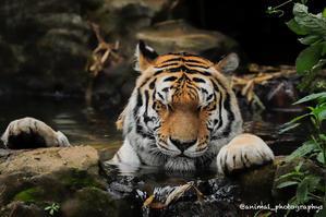 多摩動物公園のアムールトラ?名前の伝統? - Animal_photographys's Blog