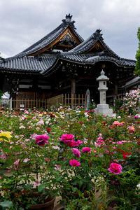 薔薇の寺(おふさ観音) - 花景色-K.W.C. PhotoBlog