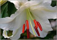 庭に咲く花(2021)-20 オリエンタルリリー カサブランカ - 野鳥の素顔 <野鳥と日々の出来事>