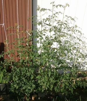 ミニトマトの9本仕立てと追加のトウモロコシ - ブルーベリーの育て方& 栽培 ブルーベリー ノート BlueBerryNote