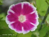 我が家の7月のお庭の花と野菜2と梅仕事~♫ - アリスのトリップ2