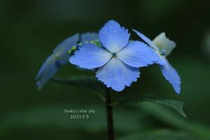みちのくあじさい園・最終章 - FUNKY'S BLUE SKY