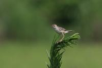 田圃(2021年7月20日) - ほとんど野鳥写真日記