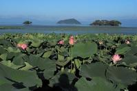 琵琶湖に咲く蓮   湖北・長寿寺 - 峰さんの山あるき