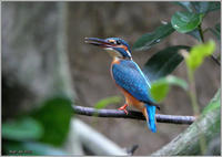 カワセミ直ぐ近くで - 野鳥の素顔 <野鳥と日々の出来事>