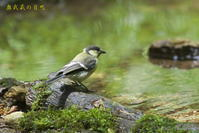 シジュウカラの幼鳥 - 奥武蔵の自然