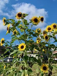 畑の夏のシンボル - 光さんの日常2