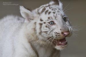 2021.5.23 宇都宮動物園☆ホワイトタイガーのシラナミ姫とイーサンくん【White tiger】<その3> - 青空に浮かぶ月を眺めながら