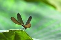 ハス畑の虫たち(その5) - ジージーライダーの自然彩彩