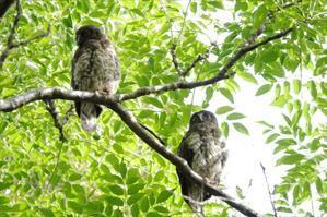 アオバズク親子 - 川の鳥見日記3