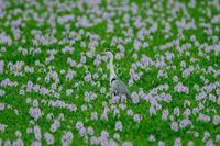 かごしま鳥三昧36 アオサギ2 - 大いなる旅路