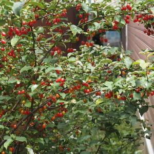 グミの木発見 - sola og planta ハーブを育てながら