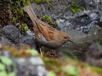 カヤクグリの元気な水浴び - コーヒー党の野鳥と自然パート3