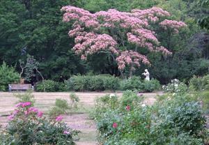 ネムノキ - 中島公園花だより