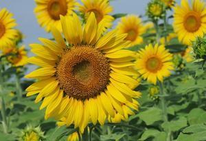 季節の花 ヒマワリ - 大山山麓、山、滝、鉄道風景